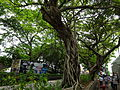 HK TST Nathan Road green Sidewalk Chinese Banyan trees Aug-2015 DSC (10).JPG