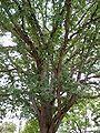 HRC tree by Matthew Bisanz.JPG