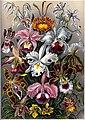 Haeckel's Orchids.jpg