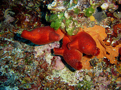 Ascidie rouge, en Méditerranée, au large de la Croatie