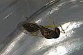 Halticoptera laevigata (36375333682).jpg