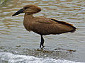 Hamerkop (Scopus umbretta) (12716718055).jpg