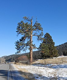 A photograph of a large pine tree