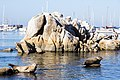 Harbor seals at Monterey Bay - panoramio.jpg
