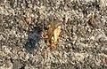 Harderbos - Gestreepte eikenblindwants (Rhabdomiris striatellus).jpg