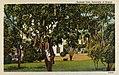 Hawaii - Sausage Tree, University of Hawaii (NBY 430355).jpg