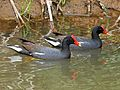 Hawaiian Common Gallinule RWD4.jpg