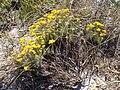 Helichrysum italicum spp serotinum.001 - Islas Cies.JPG