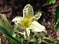 Hemerocallis G2 lemon.jpg