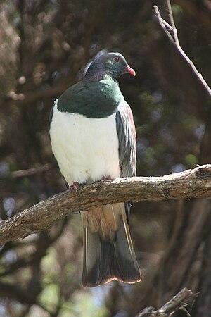 New Zealand pigeon - On Kapiti Island, New Zealand