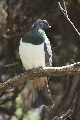 New Zealand pigeon - On Kapiti Island, New Zealand