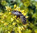 Hemiptera1.jpg