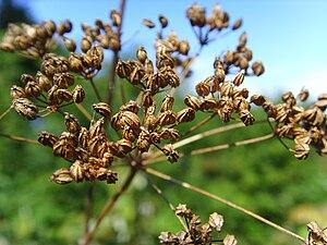 Conium maculatum - Hemlock seed heads in late summer