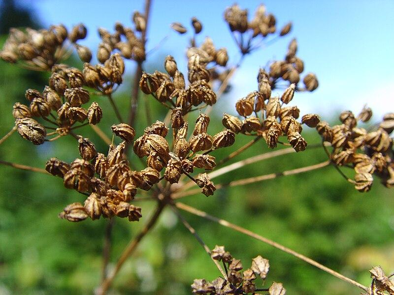 File:Hemlockseeds.jpg