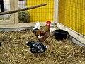 Hens and rooster 395 Kirjava kukko ja kana C.JPG