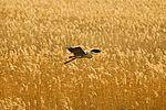 Heron - RSPB Minsmere (31200200330).jpg