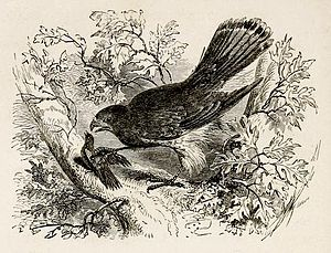 The Hawk and the Nightingale - Henry Walker Herrick's illustration of a mid-Victorian edition of Croxall's The Fables of Aesop, Fable LXIV