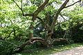 Herten - Schlosspark - Trompetenbaum 03 ies.jpg