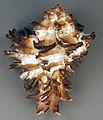 Hexaplex cichoreum (endive murex snail shell) (modern) (15043719217).jpg