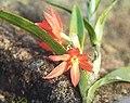 Hexisea imbricata - Flickr - Ragnhild & Neil Crawford.jpg
