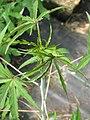 Hibiscus coccineus foliage (14485078780).jpg