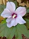 Hibiscus syriacus 002.jpg