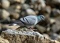 Hill Pigeon (Columba rupestris) (33789176793).jpg