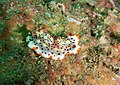 Himalaya Bay, MX nudibranch.jpg