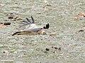Himalayan Griffon (Gyps himalayensis) (49184716398).jpg