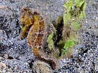 Hippocampus kuda (Yellow estuary seahorse).jpg