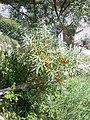 Hippophae rhamnoides (Sluníčko).jpg