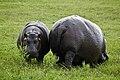 Hippos in SA.jpg