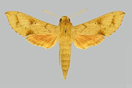 Hippotion rebeli BMNHE274938 female up.jpg