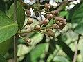 Hiptage benghalensis at Gudalur (6).jpg