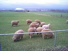 ヶ 丘 展望 台 羊