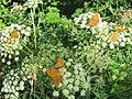 Hochstaufen Argynnis paphia.jpg