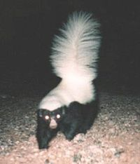 Hognosed skunk.jpg