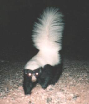Hognosed skunk