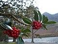 Holly - Ilex aquifolium - geograph.org.uk - 1562776.jpg