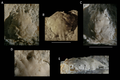 Holotype of Nemausa donovani from the lower Miocene coral-associated limestones of the Montpelier Formation in the Duncans Quarry, Jamaica.png