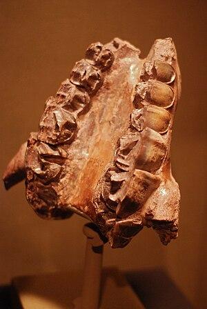 Homalodotherium - Homalodotherium cunninghanni