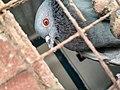 Homing pigeon 2.jpg