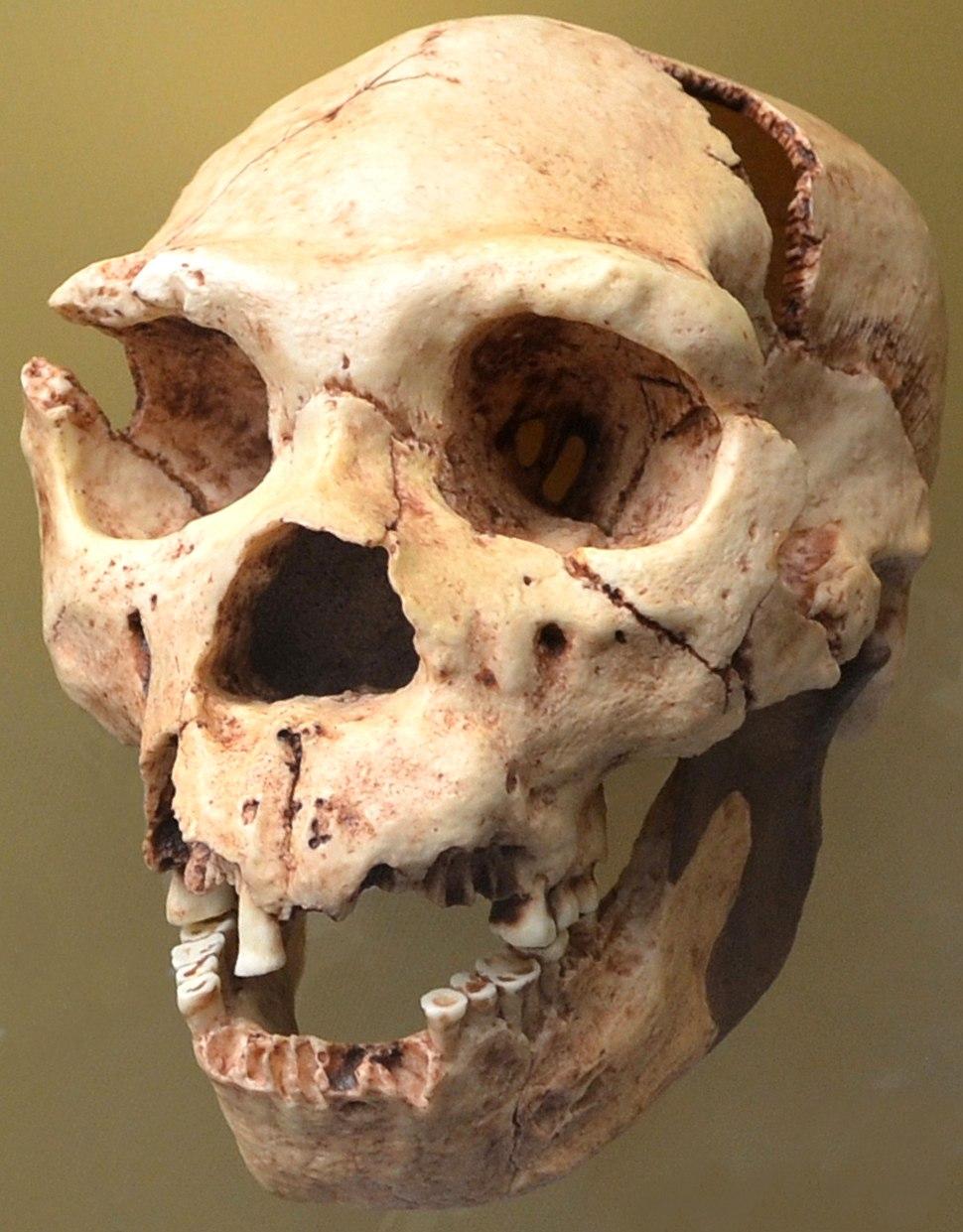 Homo heidelbergensis. Museo de Prehistoria de Valencia