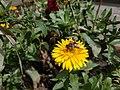 Honey bee sitting on the yellow flower.jpg