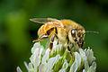 Honeybee on clover, New Zealand.jpg