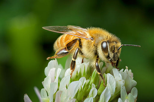 Honeybee on clover, New Zealand