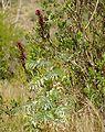 Honeyflower (Melianthus major) (32832787485).jpg
