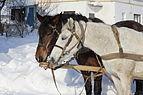 Horses closeup 2012 G2.jpg