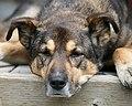 Hound Dog (1750415219).jpg