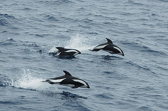 Hourglass dolphin - Hourglass dolphins leaping in the Drake Passage
